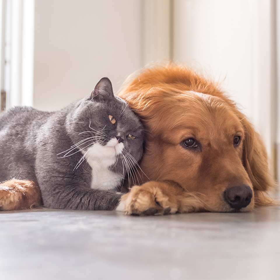 essential oil dogs cats thumbnail