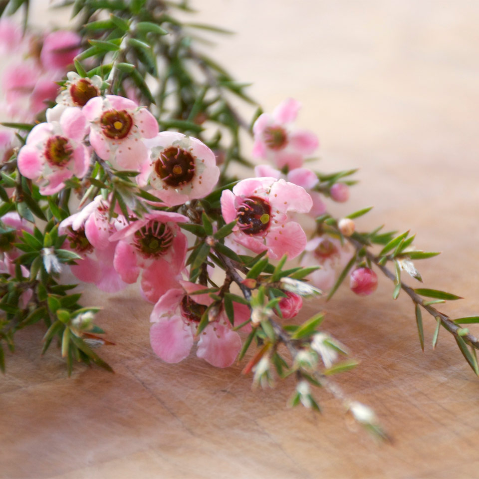 More About Tea Tree Oil